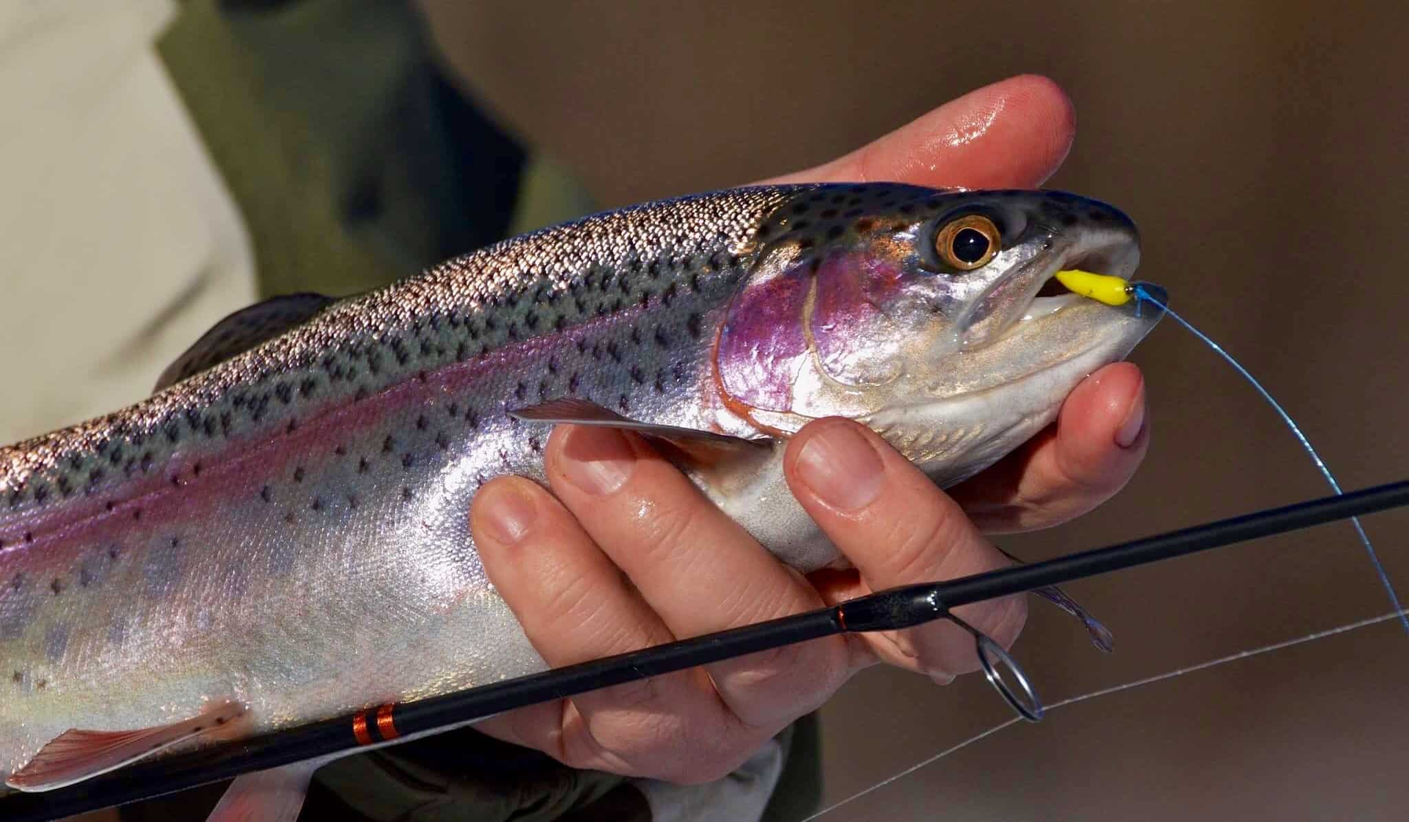 Ice fishing rainbow trout best fish 2017 for Trout fishing mn season